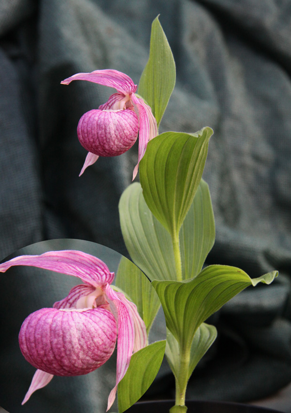 Cypripedium franchetii